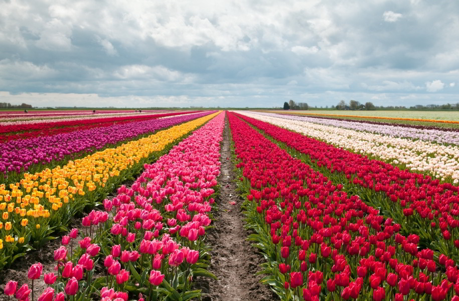 Campos de tulipanes junto a los Jardines Keukenhof